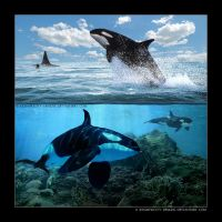 Killer Whales by xxsimplicity-designs