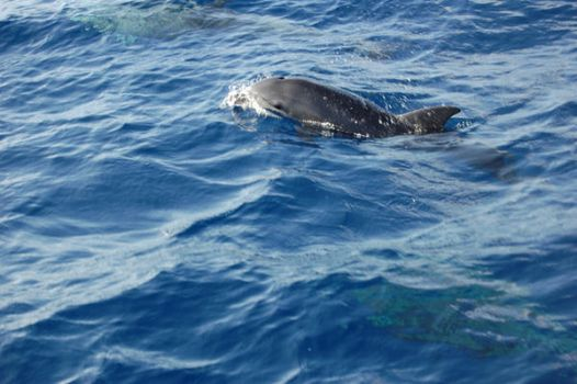 Bottlenose Dolphin by EmberGryphon