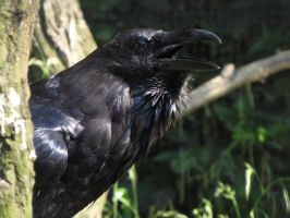 Common Raven by animalphotos