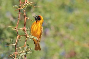 Golden Weaver - Dangerously Sharp Beauty by LivingWild