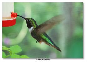 Hummingbird by ScoobyUSA