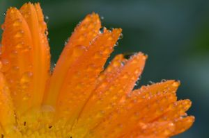 Stock: Orange Flower - Petals - Droplets by Think-Outside-Of-Box