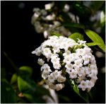White Flowers by 9a3blm