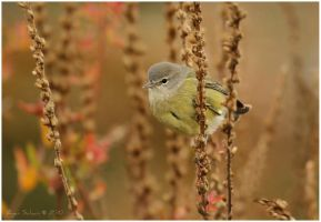 Orange-crowned Warbler by Ryser915