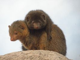 Mongooses by Canislupuscorax