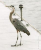 A Great Blue Heron by creativemikey