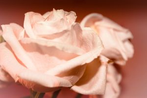 rose 3 by FreedomeSoul88