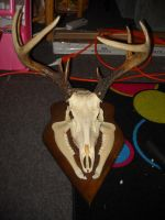 European Antler Mount by galianogangster