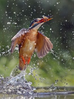 Lucky strike this time - common kingfisher by Jamie-MacArthur