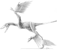 Microraptor Muscle Study by Qilong