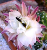 Bees on cactus flower by Star-Clair