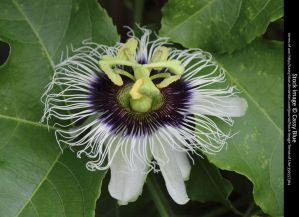 Passionflower Stock 2 by Cassy-Blue