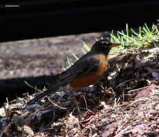 American Robin April 1 2010 by seto2112
