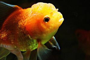 Golden fish I by a6-k