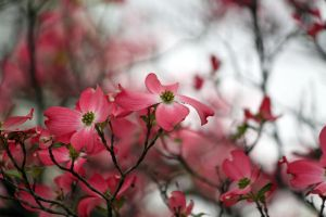 Dogwood Pink by CASPER1830