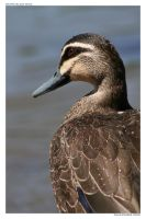 Pacific Black Duck by littleredplanet
