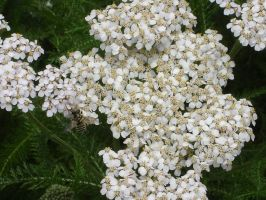 Yarrow Flower by MarysartandPhotos