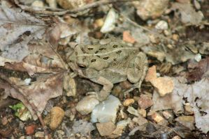 Toad by magicia