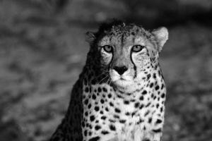 Black and White Cheetah - 2 by NicolasCameron