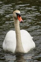 The Swan by GMCollins