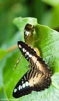 Butterfly by hohe