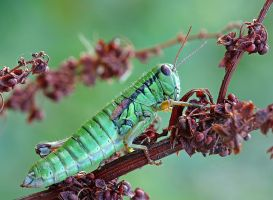 Green grashopper by buleria