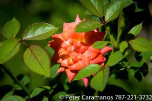 Miniature Rose 3 by Caramanos2000