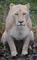 White Lioness by NicamShilova