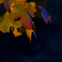 glowing leaves by schattenlosefotos