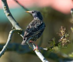 Starling 2 by artistmarty
