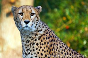 Acinonyx jubatus by stilbock