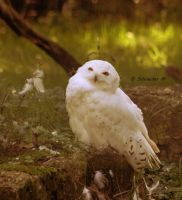 Snowy Owl II by MorganeS-Photographe