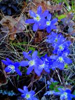 the blues of spring by mykindofviolence