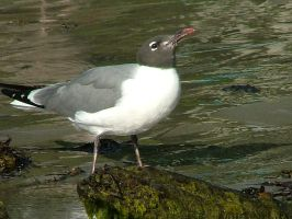 Laughing Gull Drinking IV by SlateGray