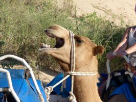 Laughing Camel by CluelessWorld
