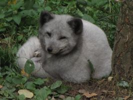Arctic Fox 05 by animalphotos