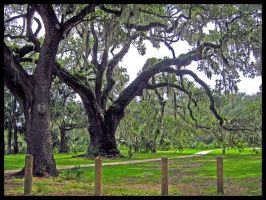 New Orleans City Park Oak Tree by SalemCat