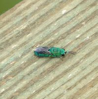 Cuckoo Wasp by Malidicus