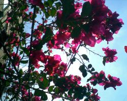 bougainvillea by LeRosaVare