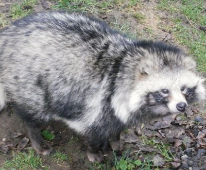 raccoon dog by kittymichaels
