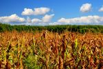 Corn Field by ToRom