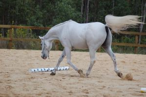 Arab trot head down from back by Chunga-Stock