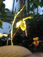 Yellow orchid 02 by CotyStock