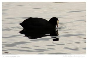 Cute Coot by In-the-picture