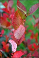 Red Leaves by Tramira