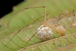 Spitting Spider with egg sag by melvynyeo