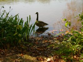 geese in the fall by aragornsparrow