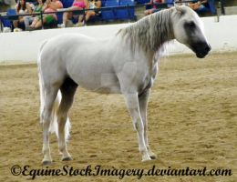Andalusian 13 by EquineStockImagery