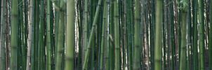Bamboo by dirkwilliams