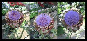 Artichoke blooming by Aenea-Jones